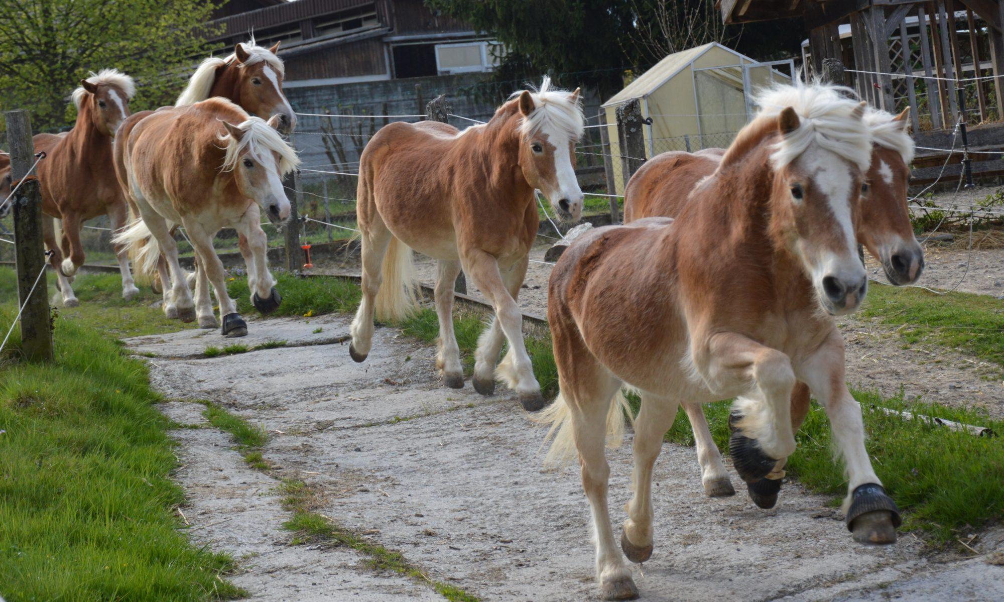 Haflinger-Pferdezuchtgenossenschaft Zentralschweiz